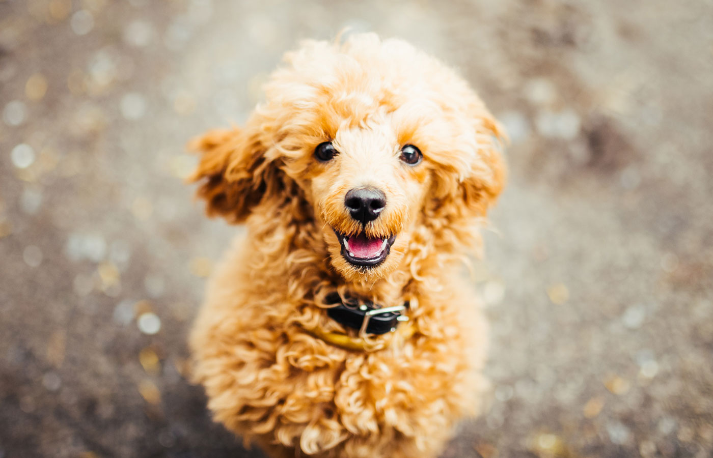 Brown cute poodle puppy sitting on the ground and looking up