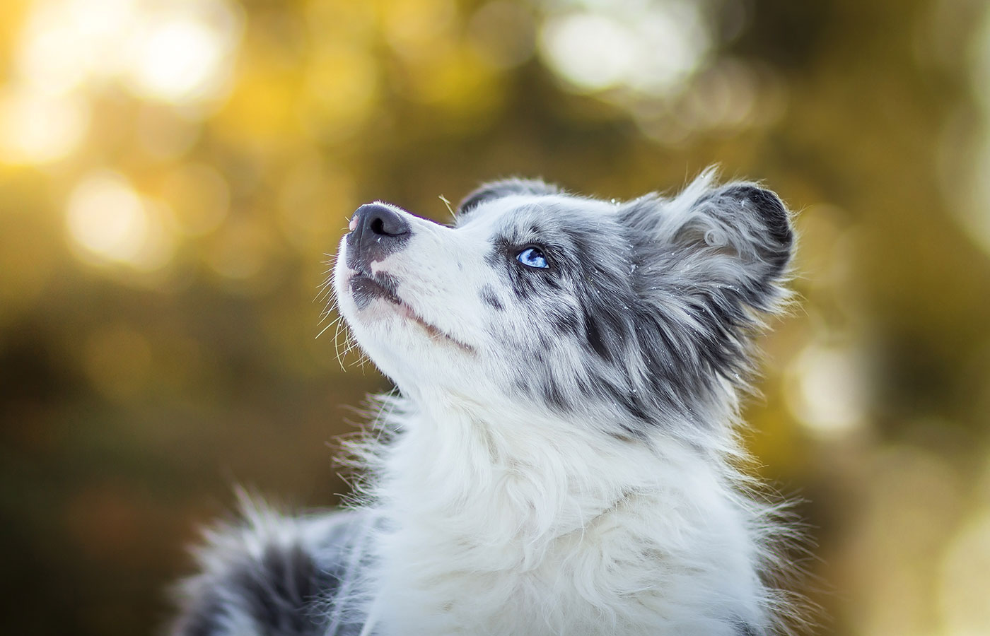 Adorable Cute Blue Merle Border Collie Puppy Laying And Watching The Sky